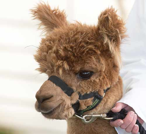 alpacas shows for kids Yorkshire